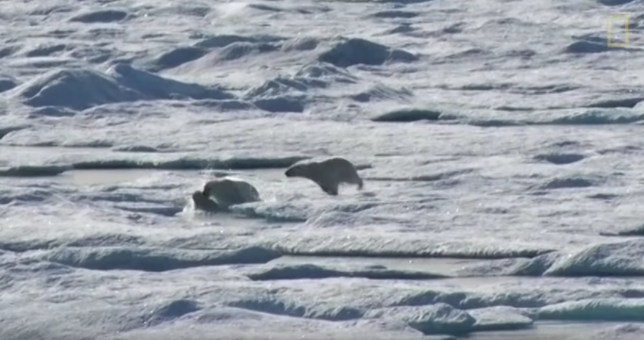 Male polar bear chases and eats cub