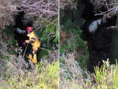 Sheep got stuck down a 10ft hole, had to be rescued by fire crews