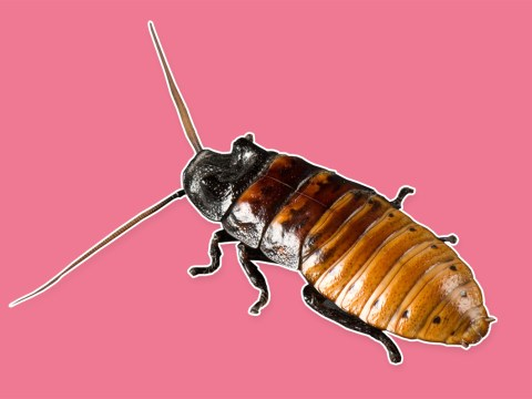 Why not name a cockroach after your ex this Valentine's Day?