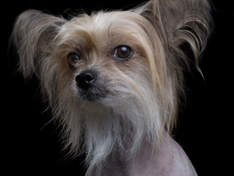 Photogenic dogs with lovely hair pose for professional portraits