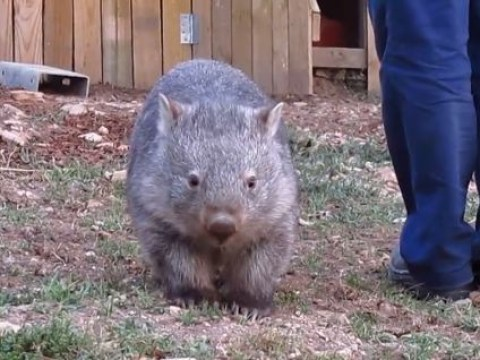 Spoilt rescued wombat kicks up a fuss when people stop petting her