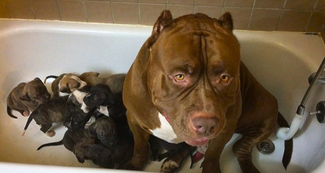 Hulk the world's largest pit bull joins his puppies for a