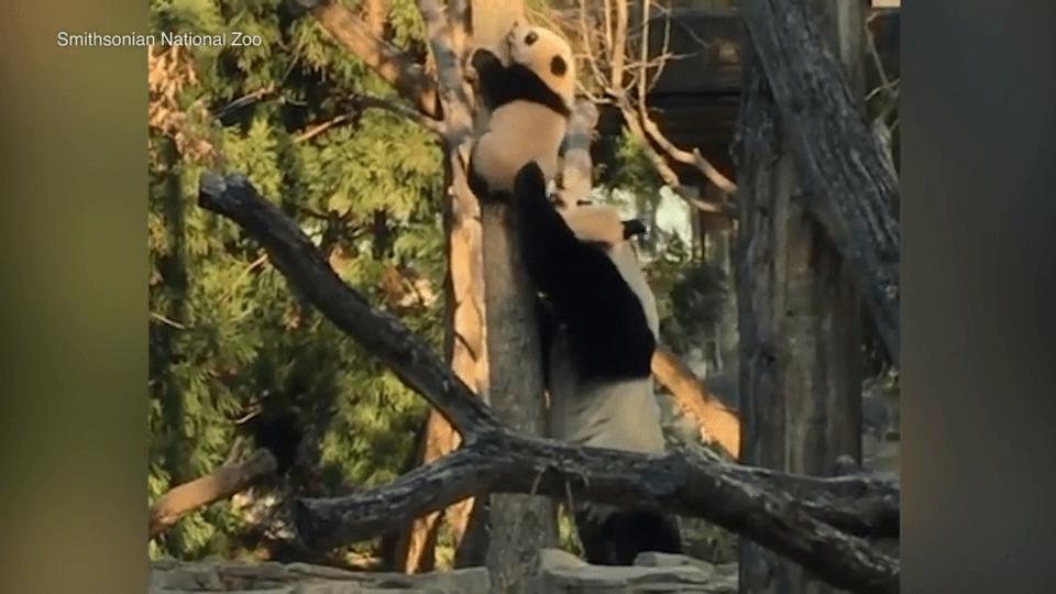 Cute panda Bei Bei gets stuck up a tree