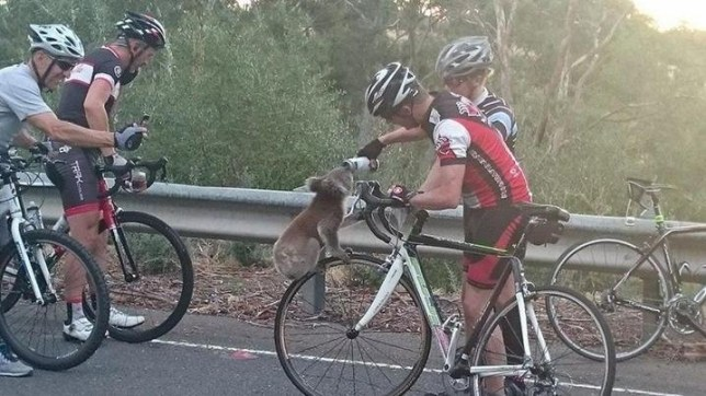 A koala sips from a cyclist's water bottle in the Adelaide region. (Facebook / Nick Lothian) Read more at http://www.9news.com.au/national/2016/03/02/17/23/thirsty-koala-climbs-bicycle-wheel-to-grab-a-drink-in-adelaide-hills#VVHPMzyB3fbveSW3.99