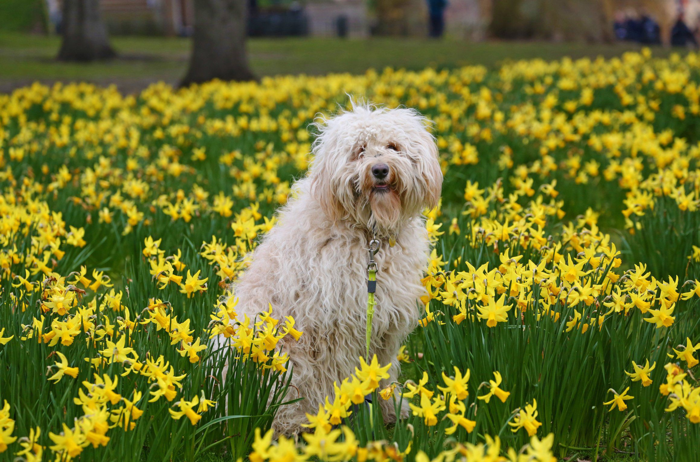 Mandatory Credit: Photo by Paul Brown/REX/Shutterstock (5610010c) Pippi the Goldendoodle enjoys her walk in the Daffodils. Daffodils bloom early in St. James Park, London despite the cold while visitors and locals brave the cold weather to enjoy the colourful flowers. Spring in St. James Park, London, Britain - 6 Mar 2016