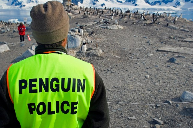 Antarctica, Antarctic Peninsula, Paradise Harbour. The chinstrap Penguin colony at Paradise Harbour within Paradise Bay, on the Antarctic Peninsula being watched by Penguin Police a naturalist guide from the cruise ship MS Discovery ensuring that the bree