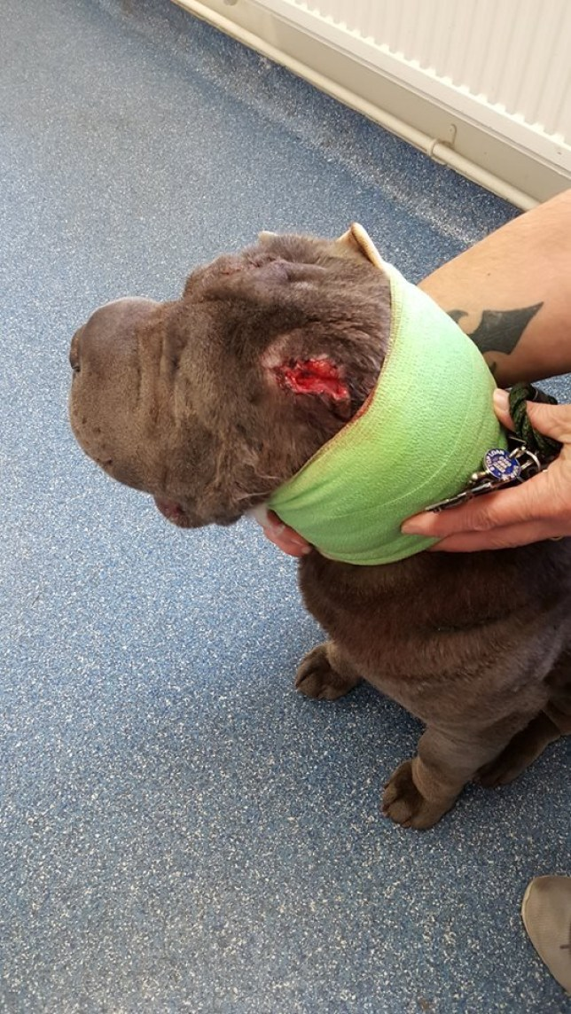 Shar Pei Boo who was brutally attacked by thieves with what's believed to be a machete after they broke into a house in Beswick