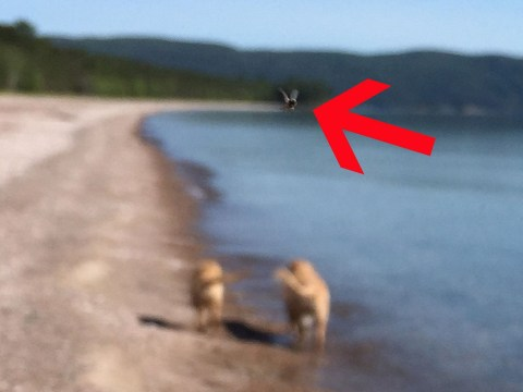 A fly photobombed what would've been a beautiful photo of golden retrievers