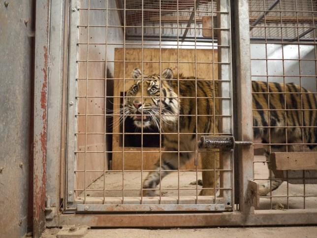 A tiger at South Lakes Wild Animal Park, Cumbria. Zookeeper Sarah McClay was mauled to death by a tiger at the park after failing to follow safety guidelines.