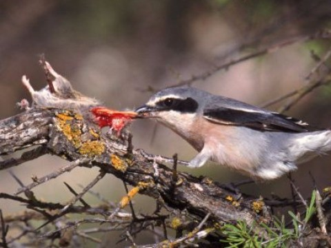 Murderous bird impales its prey with thorns