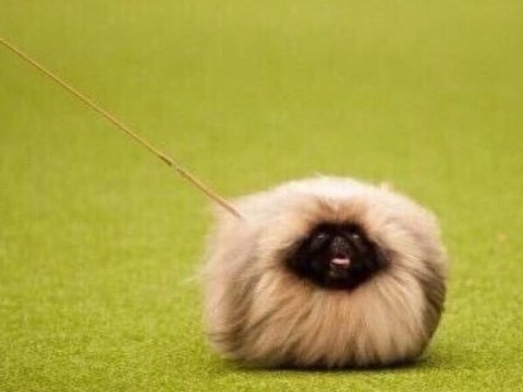 People couldn't handle the Crufts hero that was Eric the Pekingese dog