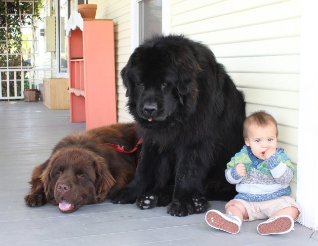 Instagram stars Ralphie and Boss are giant Newfoundland dog ...