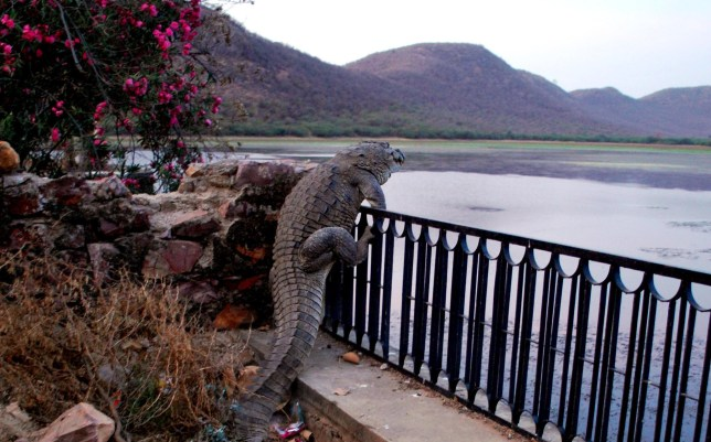CATERS NEWS AGENCY / (Pictured - A female crocodile trying to leap a fence) - A cheeky female crocodile decided to jump in a lake from the height of 15-feet. The crocodile crawled over a 4-feet high fence to bring herself into a position to attempt the jump in the lake in Boondi district of Rajasthan in India. Photographer Ram Kishan managed to capture the heart warming moments on his phone. Everything went according to the plan and he witnessed the seven-feet reptile jumping into the lake. Ram Kishan was left shocked when he saw the over 250lbs croddile making such an effort to jump into the lake as he had never seen the lazy reptile making such an effort. - SEE CATERS COPY