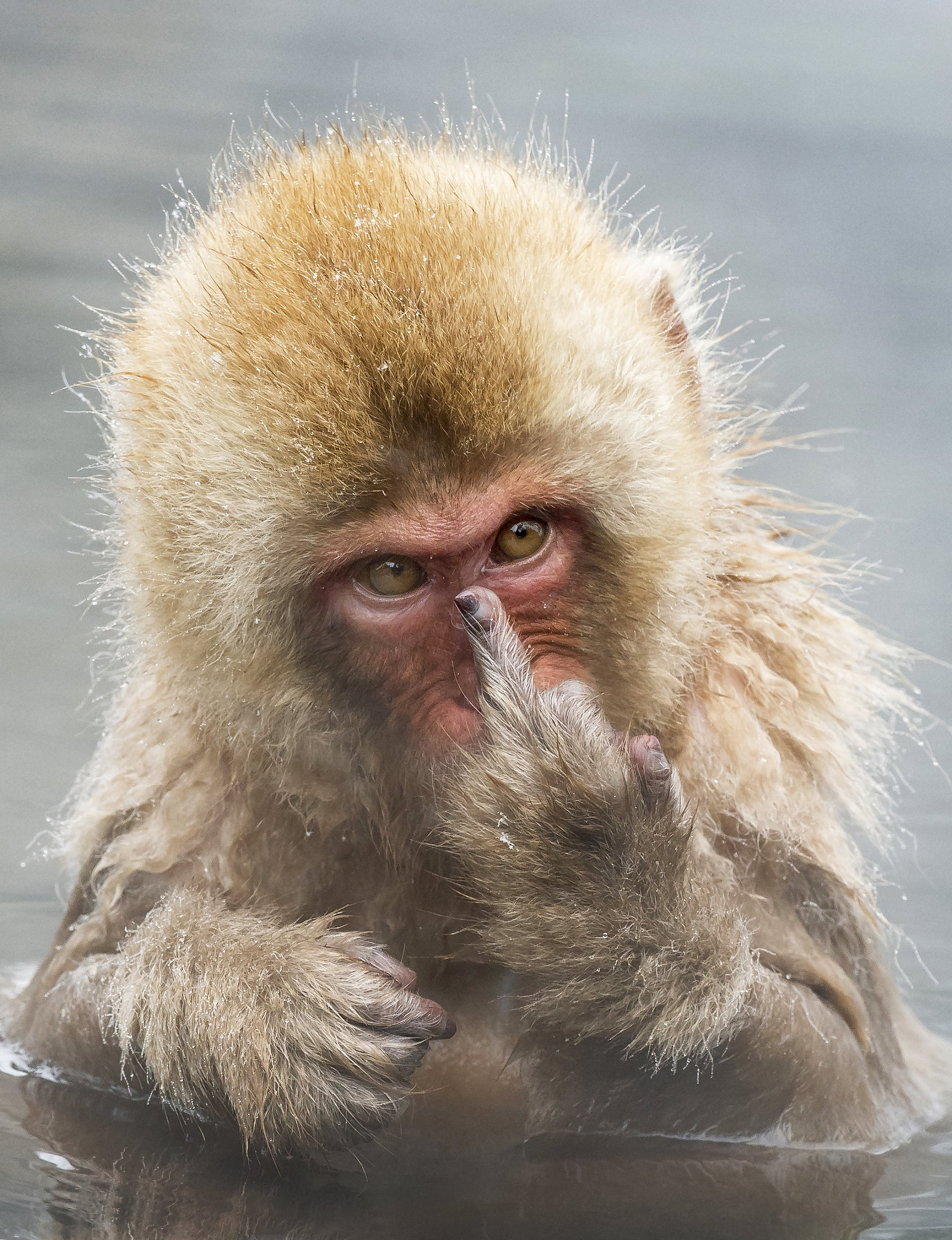 """The cheeky Japanese macaque seen at Jigokudani Snow Monkey Park in Japan. See Masons copy MNCHEEKY: A cheeky monkey went ape after being snapped taking his morning bath and stuck his MIDDLE FINGER up at a passing photographer. The Japanese macaque used the simple hand gesture to make it very clear it wasn't the time for monkey-ing around. Looking straight into the lens of the camera, he raised his left arm before flipping the bird at waiting Jari Peltom¿ki. Professional wildlife photographer Jari, 51, said: """"When I saw what he was doing, I quickly took burst of images to capture the moment."""