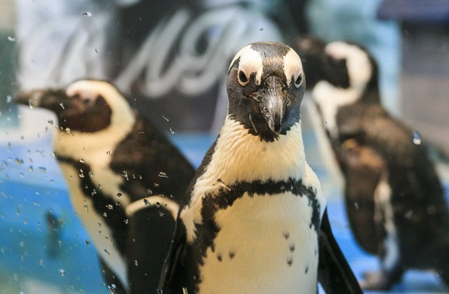 Mandatory Credit: Photo by Aflo/REX/Shutterstock (5635843c) Penguins Penguin Bar in Ikebukuro, Tokyo, Japan - 12 Apr 2016 The store, which opened in 2013, allows customers to interact with live penguins and even feed them. The bar offers original drinks such as ''Penguin Bar Original Frozen Cocktail'' for 1,000 JPY ($9.25 USD) and various kinds of Penguin-shaped foods. According to the staff, the bar has become a popular tourist spot among foreign visitors. The first Penguin Bar opened in Okinawa 10 years ago.