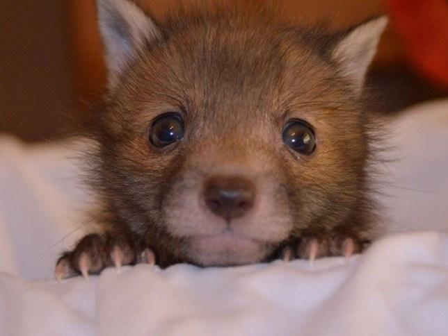 Baby fox loves his toy bunny rabbit Credit: Facebook/National Fox Welfare Society