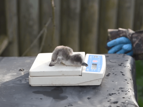 Adorable video of newborn penguins being weighed is the cutest thing you'll see today