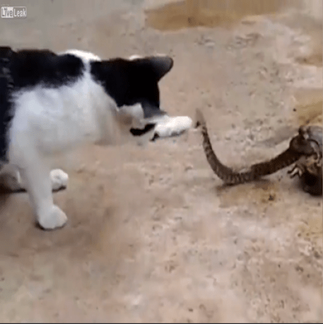 Cat fights snake while it is eaten alive by toad in Thailand – WATCH
