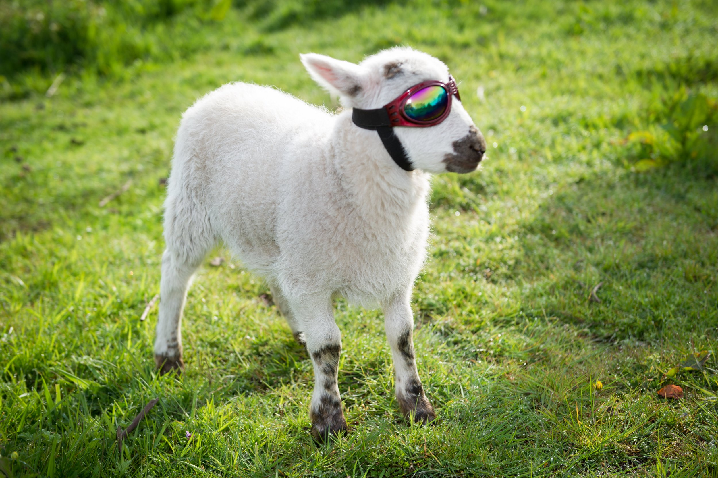 These adorable photos show a tiny lamb which has to wear sheep SUNGLASSES to protect its eyes.