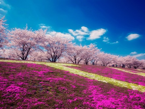Let these stunning photos of Mount Fuji in bloom soothe your weary soul