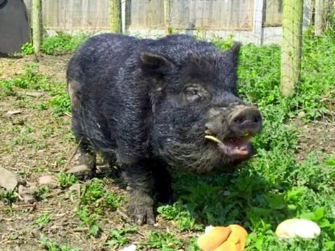 Meet Mystic Marcus, a 100% genuine psychic pig