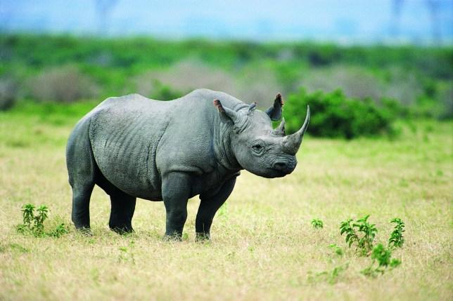 Black Rhinoceros Standing in Grassland