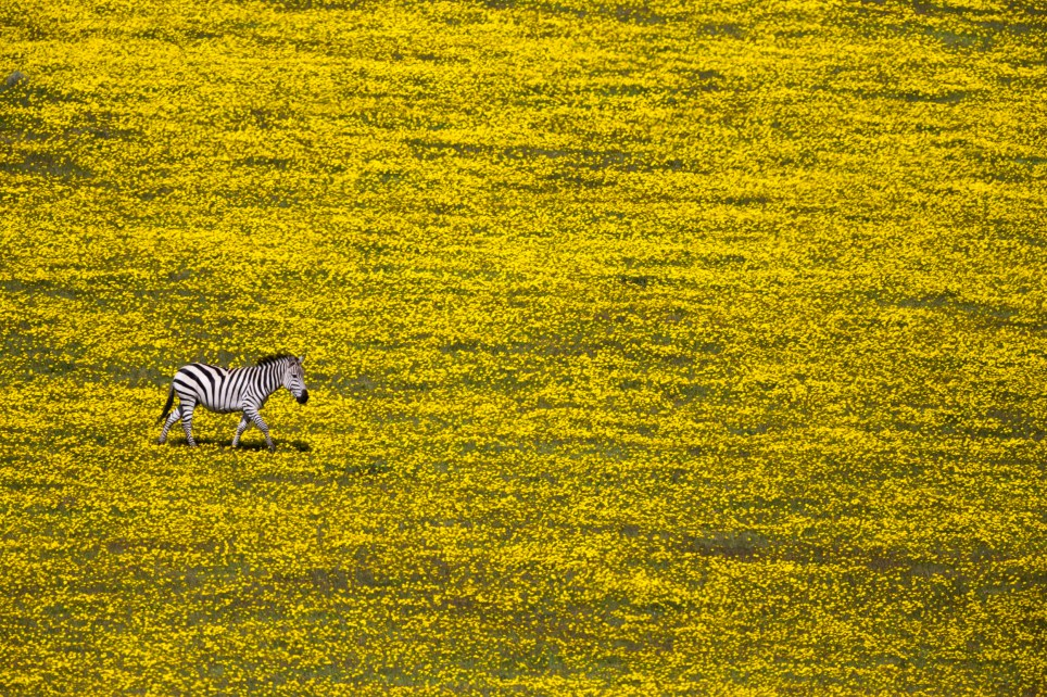 A lonely zebra in the midst of a field full of flowers. Near Serengeti National Park, Tanzania, Africa. Canon EOS 1Dx. EF600mm f/4L II USM + 1.4x III, 1/8000 sec at f/5.6. ISO 800