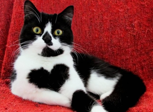 cat with heart on chest
