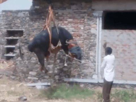 Buffalo rescued after inexplicable rooftop stranding