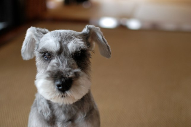 15 Reasons Schnauzers Are The Best Dogs In The World Metro News