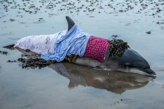 Touching pictures show a dolphin wrapped in blankets after volunteers rescued it from a beach where it was stranded