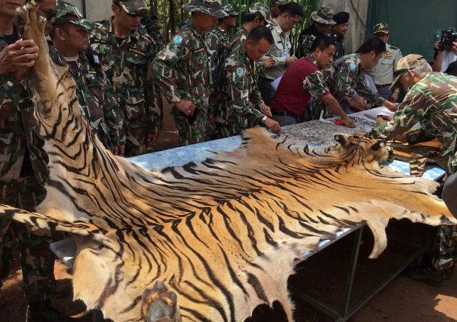 "National Parks and Wildlife officers examine the skin of a tiger at the ""Tiger Temple,"" in Saiyok district in Kanchanaburi province, west of Bangkok, Thailand, Thursday, June 2, 2016. Thai police say they stopped a truck carrying two tiger skins and other animal parts as it was leaving the temple, two staff members were arrested and charged with possession of illegal wildlife. Police said a monk traveling with them will be arrested once he is defrocked. (AP Photo) THAILAND OUT"