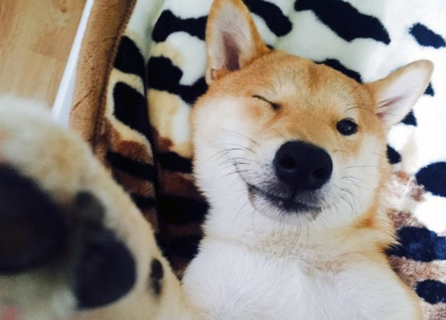 PIC FROM CATERS NEWS - (PICTURED: Chiko the Shiba) - Chiko the Shiba Inu has given up leading a dogs life and decided to become a human instead. According to his owner Olesia Kuzmychova, the smart 7-month-old pup is completely addicted to films and Netflix. And whenever he isnt chilling in front of the screen, hes sat bolt-upright at the table or picnic benches, doggedly following rigorous rules of decorum. Olesia said: From the first day I bought him he started watching TV with me, so when I went out I started leaving the TV on for him. SEE CATERS COPY.