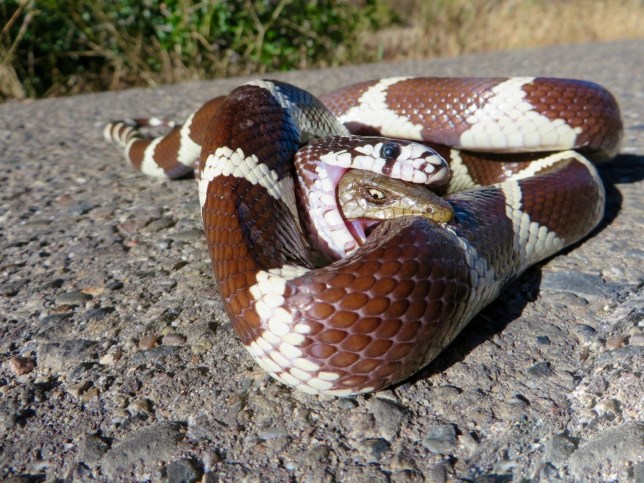 Lizard somehow survives this encounter with a snake | Metro News