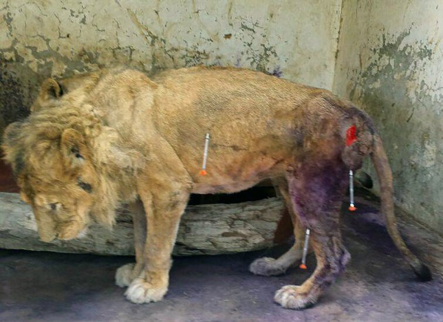 PIC FROM CATERS NEWS - This is the heart-breaking roar of a once noble male lion reduced to skin and bone trapped in a zoo in the middle of a WARZONE Staring from behind rusted bars in a urine and blood-soaked cage barely a few feet wide this king of the jungle almost seems to be crying for help trapped at Taiz Zoo, in war-torn Yemen. The Middle-Eastern country has been in the middle of a bloody civil war since March last year and the human cost has already been sickening. But in the middle of air raids and tank shells one man and a small group of volunteers cross the front line every day to go and care for the animals of the zoo. Bassam Al-Hakimi, 25, once owned an internet caf that has been destroyed and he was an industrial engineering student before the conflict. SEE CATERS COPY