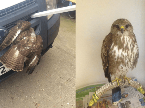 Buzzard survives 12 hours with its head embedded in a van's front grill