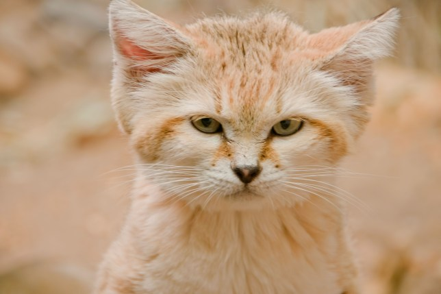 Good News Cat Lovers: These Cats Look Like Kittens Their Entire Lives