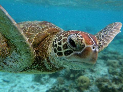 Turtles on the Great Barrier Reef are dying of herpes and it's all your fault
