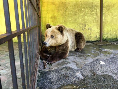 Bear so depressed he 'self harmed' rescued from cramped restaurant cage