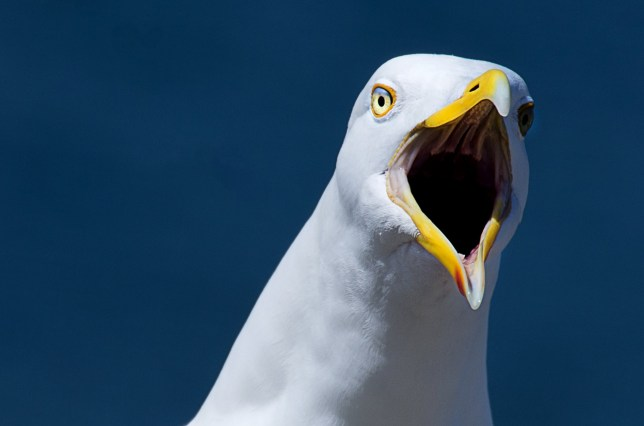 A large number of seagulls have been attacking people in Cumbria (Picture: Caters)