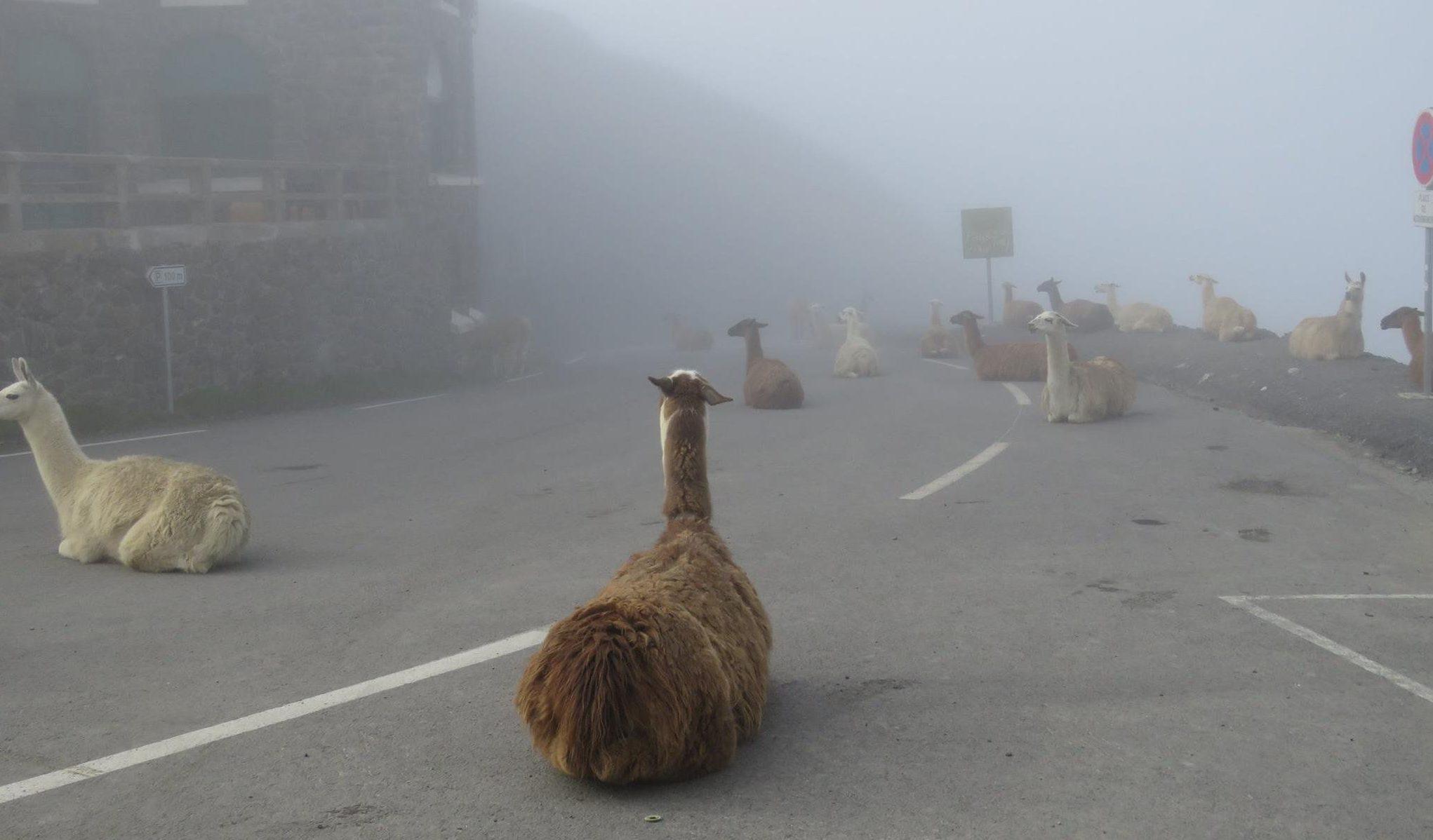 Llamas are ruining the Tour de France
