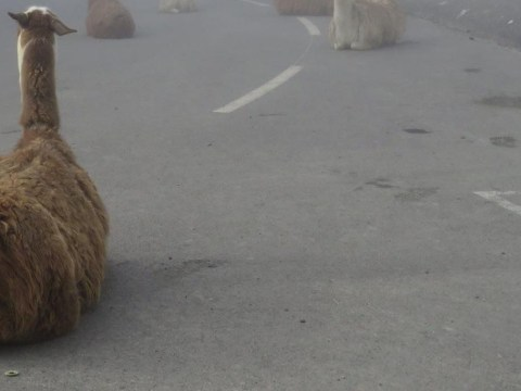 Llamas are ruining the Tour de France