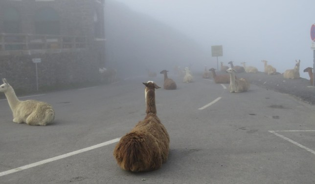 Llamas are ruining the Tour de France llamas-facebook-joel-adagas.jpg