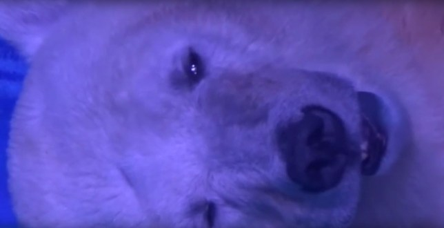 This is the world's saddest polar bear