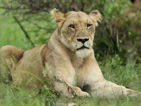 A lioness might be on the loose in Cornwall