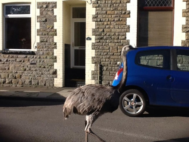 A couple were left stunned when they opened the blinds of their home to spot a giant OSTRICH walking down their quiet terraced street.