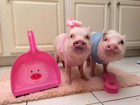 Meet Instagram's most successful pigs, who have their own book and clothing range