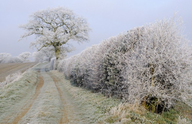 Mandatory Credit: Photo by Gary K Smith/FLPA/imageBROKE/REX/Shutterstock (5306296a)nHoar frost covered hedgerow and trees beside country lane at dawn, Norfolk, England, EuropenVARIOUSnn