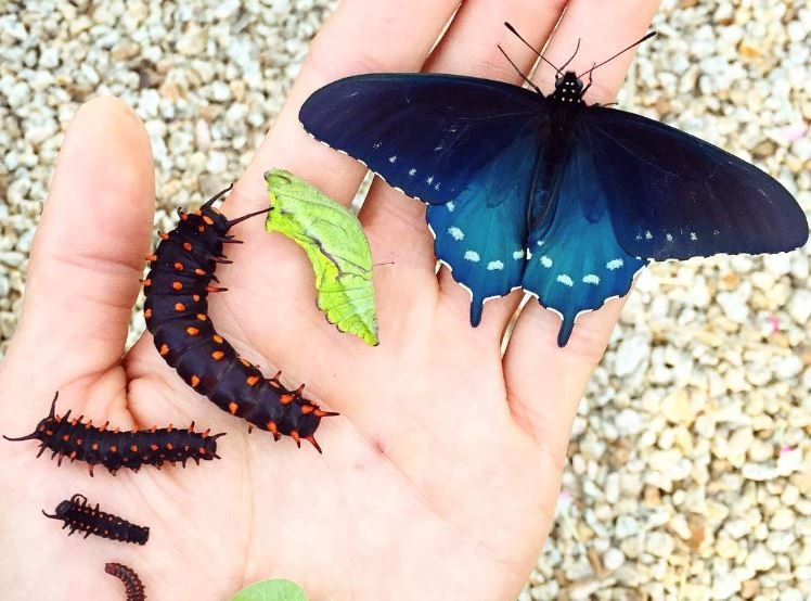 Man repopulates endangered butterfly species in his own garden