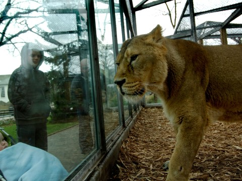 Live music event at zoo leaves lions 'stressed out', animal rights group claims